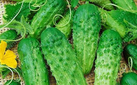 Semena okurky nakládačky - 100 kusů