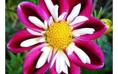 Vzácná semena rodu Dahlia (Jiřina) - 50 ks