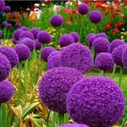 Semena Allium Globemaster neboli česneku okrasného obřích rozměrů - 20 ks