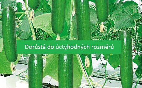 Semena velké salátové okurky - 100 semen