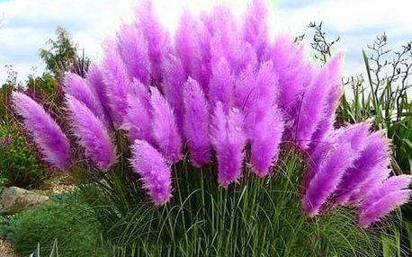 Semena okrasné pampové trávy v různých barvách - 400 kusů