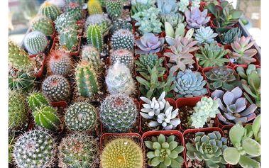 Semena vzácných odrůd kaktusu - 20 ks