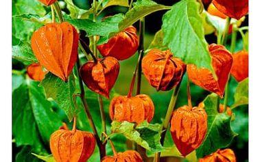 Mochyně - židovská třešeň - 60 semen - dodání do 2 dnů