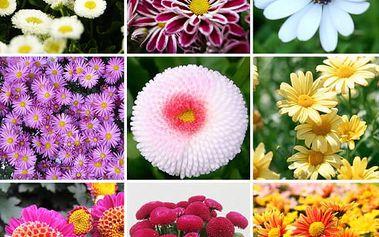 Semena barevných sedmikrásek - 400 ks