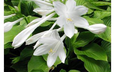 Semena květiny Hosta plantaginea - 20 ks