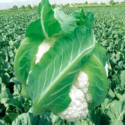 Květák - 100 semen