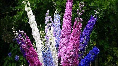 Semínka Stračka (Ostrožka) zahradní - 100 kusů
