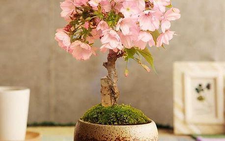 Semena vzácné bonsaje Sakury - 10 kusů