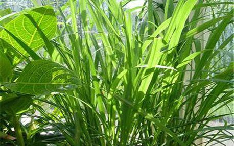 Citronová tráva - 35 semen - dodání do 2 dnů