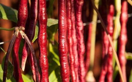 Obří fazole - 10 ks semen / různé odrůdy