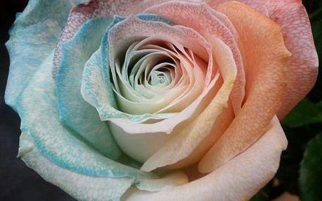 Semena barevné růže - 100 ks
