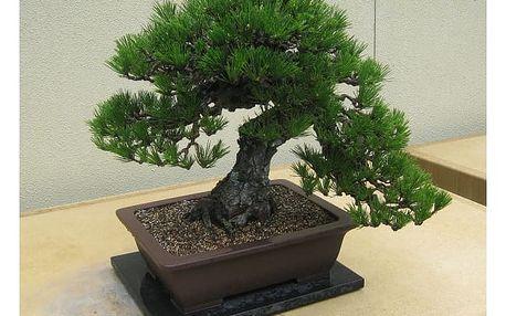 Semena japonské borovice ve stylu bonsai - 30 ks