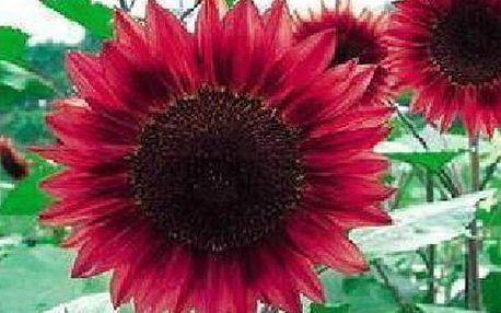 Rudá slunečnice - balení 15 semínek
