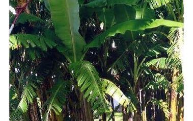 Banánovník obecný - 5 semen - dodání do 2 dnů