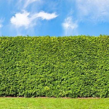 Jilm sibiřský - živý plot: 50 nebo 100 ks sazenic + 0,5 kg hnojiva