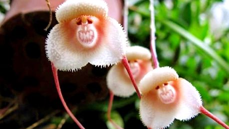 Originální semínka orchideje s opičí tváří
