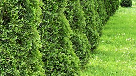 10 ks tújí ideálních pro živé ploty, za rok dorůstají až 5 metrů. Thuja Occidentalis Brabant.