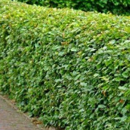 Habr - balení po 40 ks do 40 cm, 40-60 cm či 80-120 cm + možnost 0,5 kg speciálního hnojiva
