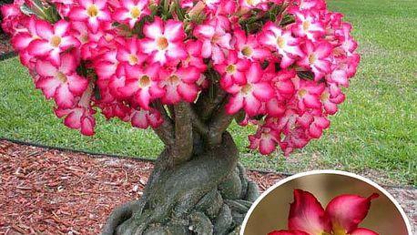 Semínka Adenium Obesum - Pouštní růže