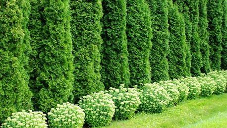 10 ks Túje Brabant prostokořené pro až 2m živý plot + možnost 0,5kg speciálního hnojiva