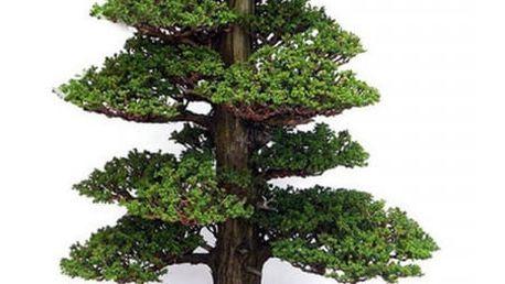 20 ks semínek - bonsaj japonský cedr