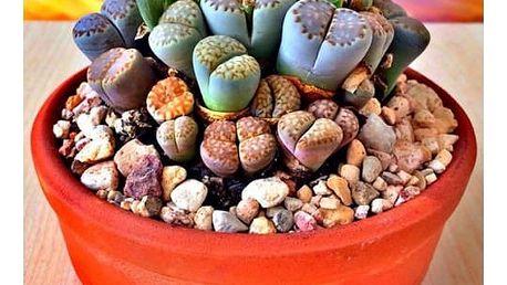 Semínka vzácné rostliny Lithops Živé kameny - 100 ks