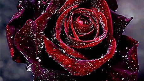 5D obraz 30 x 30 cm - Rudá růže s rosou