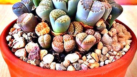 Živé kameny - 100 kusů semínek velmi vzácné rostliny Lithops Pseudotruncatella.
