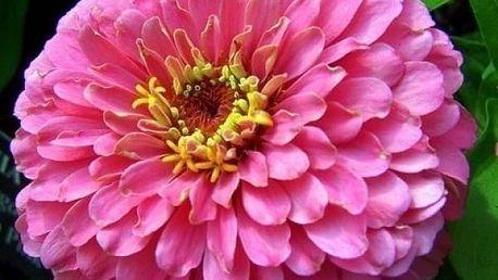 Ostálka jiřinkokvětá - 50 semen - dodání do 2 dnů