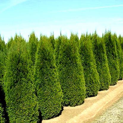 Thuja brabant 40-60 cm prostokořenná nebo thuja smaragd kontejnerovaná, nebo varianta s hnojivem.