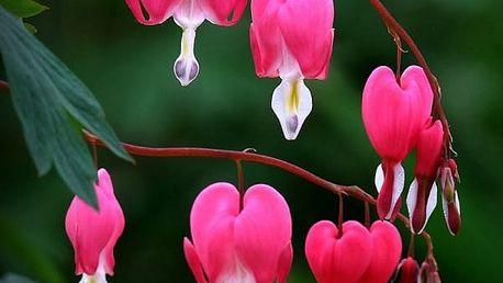 Srdcovka nádherná semínka 10 kusů