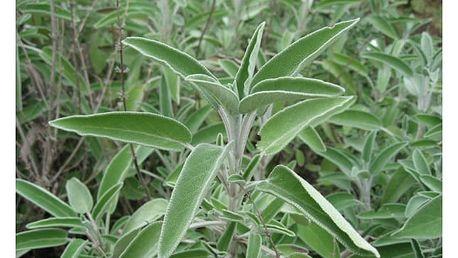 Šalvěj lékařská - 40 semen - dodání do 2 dnů