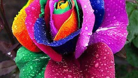 100 semínek pestrobarevné růže