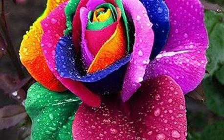 10 semínek pestrobarevné růže