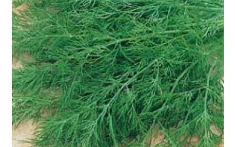 Kopr vonný Oliver - 1500 semen - dodání do 2 dnů