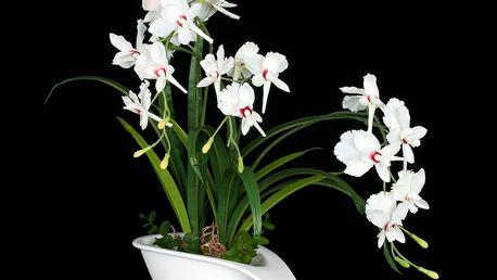 Bíla orchidej, umělá v misce