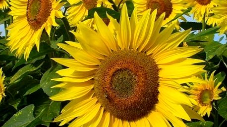 Slunečnice jednoduchá - 25 semen - dodání do 2 dnů