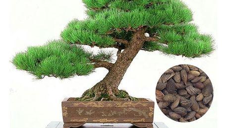 Semínka japonské borovice černé - 50 kusů