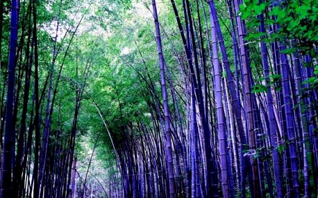 Semena čínského bambusu - 20 ks