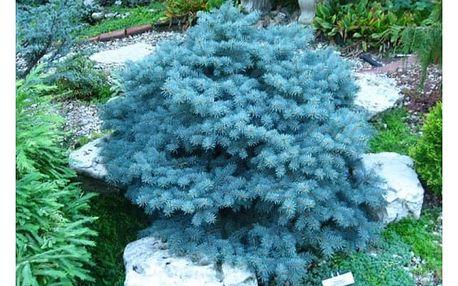 100 kusů semen jedle modré - 6 typů