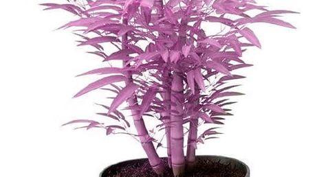 Barevné bambusové bonsaie - 20 semínek