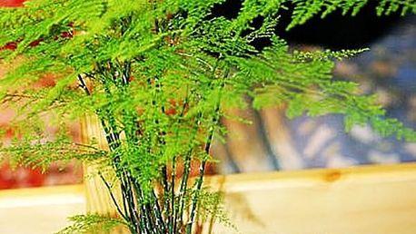 Semínka čínského pokojového bambusu - 60 kusů