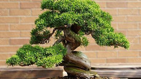 Semínka americké bonsaie - 50 kusů