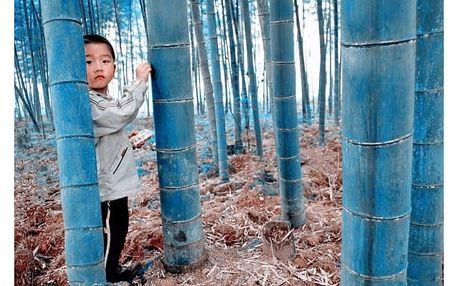 Semena modrého bambusu - 20 ks