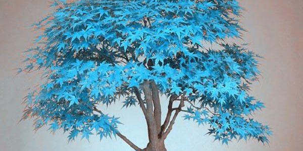 Semena japonského javoru - 20 ks