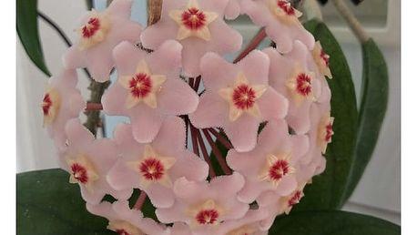 100 semen Hoya carnosa (Voskovka masitá)