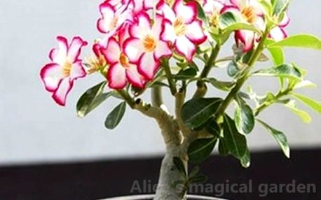 Pouštní růže růžová+bílá - 2 semínka