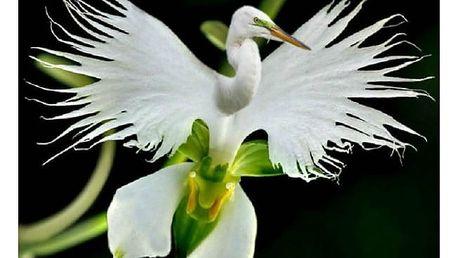 Vzácný druh bílé orchideje - 100 kusů semínek