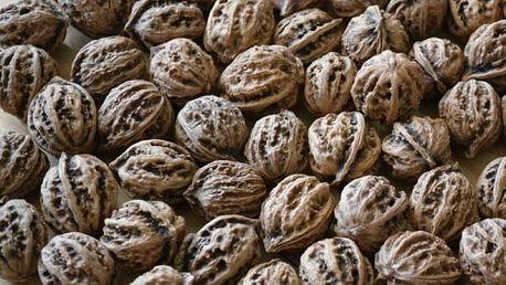 Semeno ořechu - 1 kus