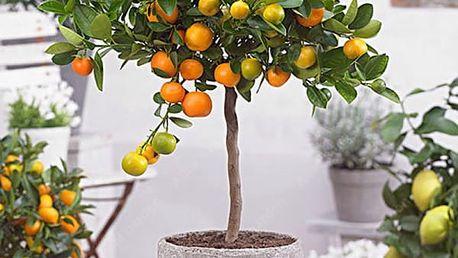 20 semen mandarinky